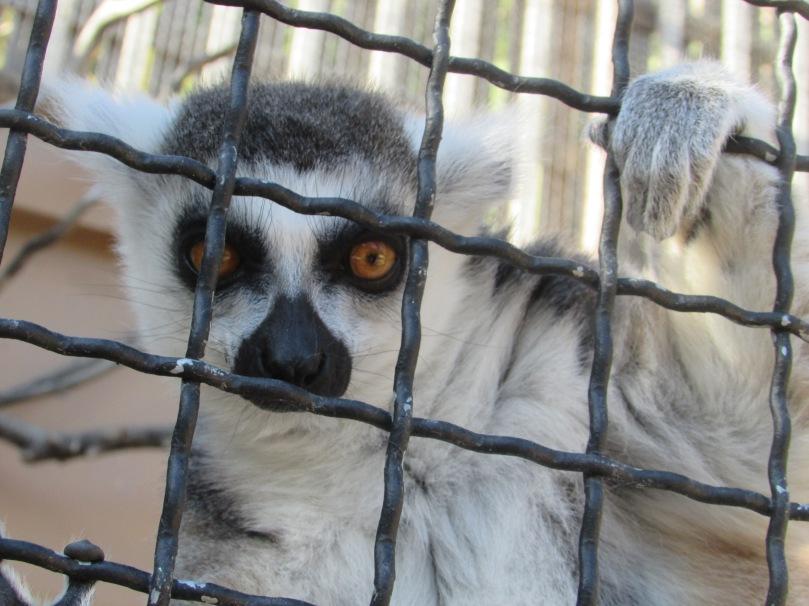 Lémurien - Zoo de Monaco