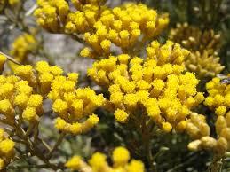 Fleur immortel de Corse