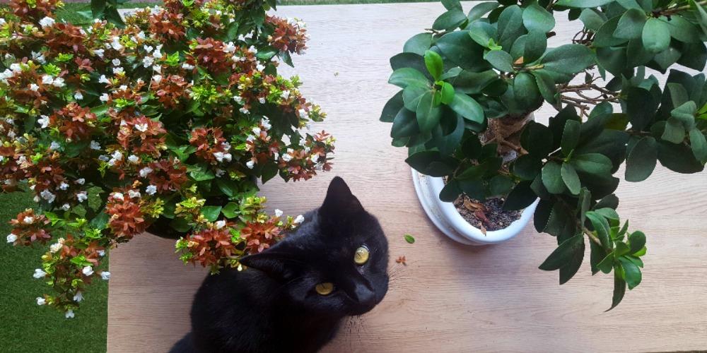 Abelia et bonsaï