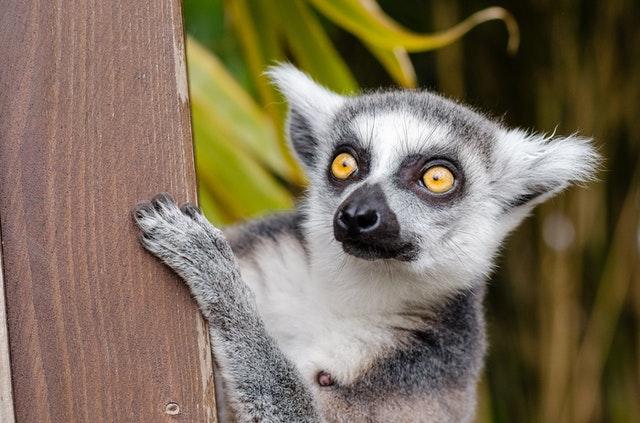 Les lémuriens de Madagascar